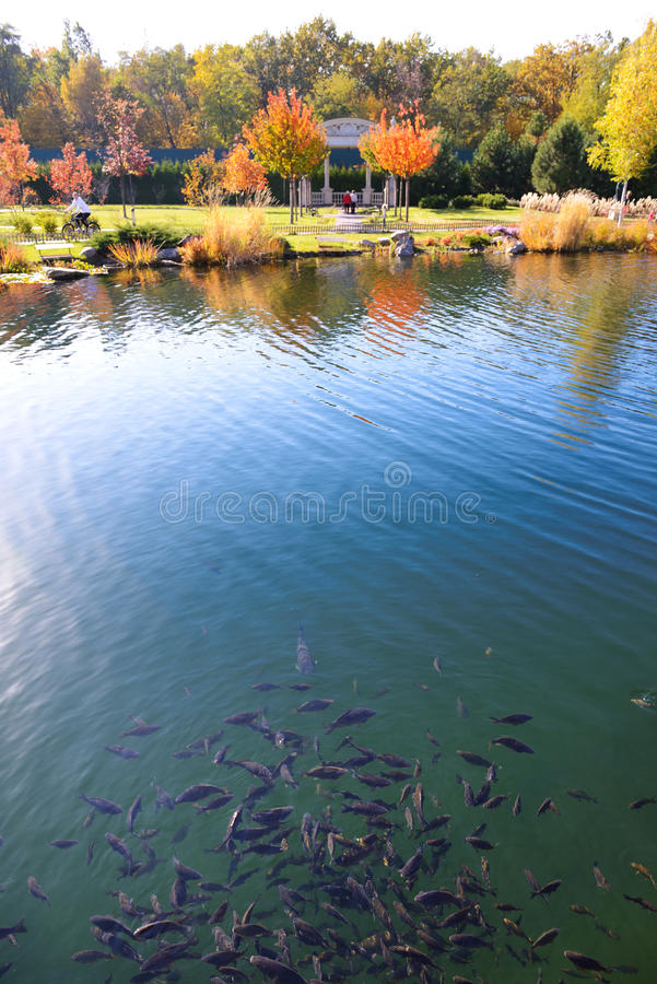 The pond with fishes is near stock image