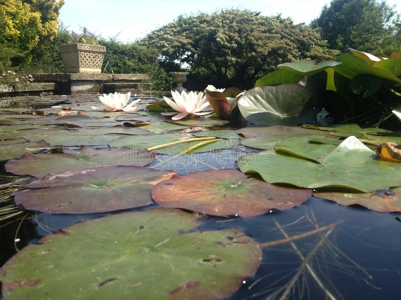 Pond Flowers royalty free stock photos