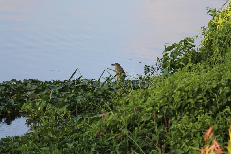 Pond fond heron at ease royalty free stock photography