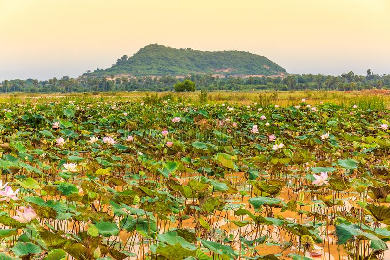 Pond with Fresh Lotus Flowers and Green Leaves Overlook a Mountain. royalty free stock photo