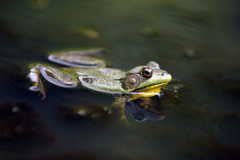 Download Pond Frog stock image. Image of floating, amphibian, nature - 5708171