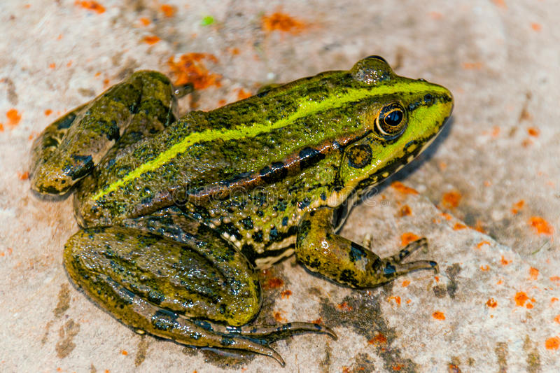 Pond frog royalty free stock photography