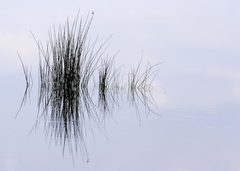 Pond Grass Reflection royalty free stock photography
