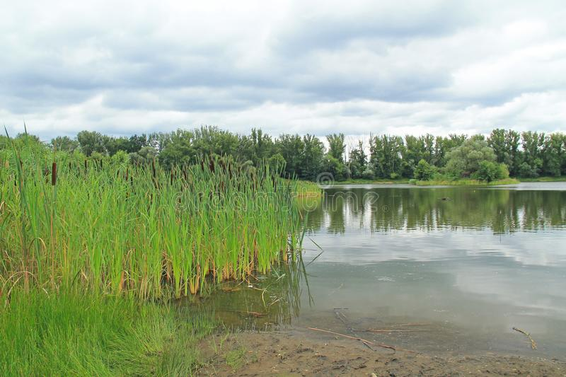 Pond with growth of reed-mace stock image