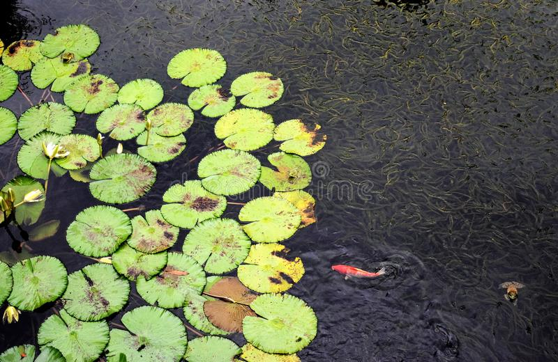 Water lilys with Koi and Frog stock image