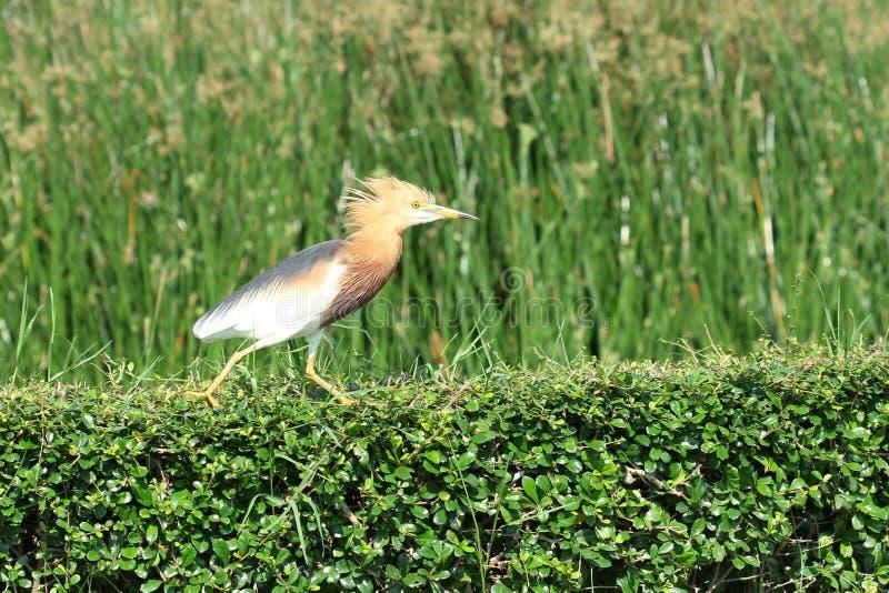 Download Pond Heron Bird stock photo. Image of chinese, migratory - 24334990