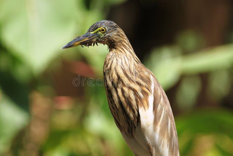 Pond Heron Looks! stock photography