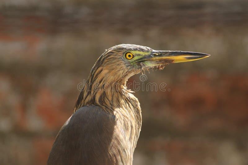 Pond Heron At Vigilance! royalty free stock photo