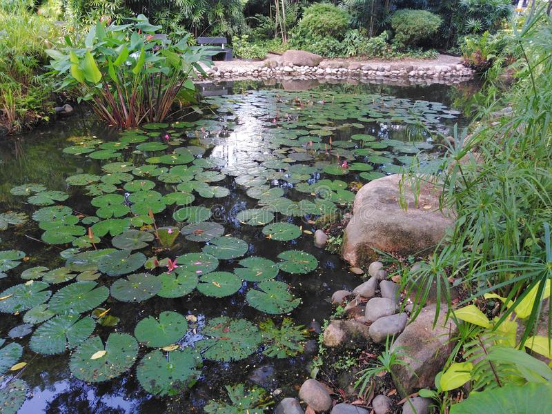 Pond in Istana Park, Singapore. Water, lilies, flowers, leaves, flat, float, freshwater, aquatic, plants, rocks, natural, manmade, cultivated, vegetation royalty free stock photos