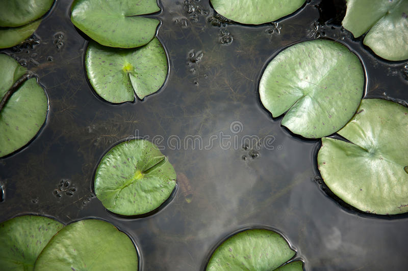 Pond at the late summer. Pond at the summer blooming season royalty free stock photo