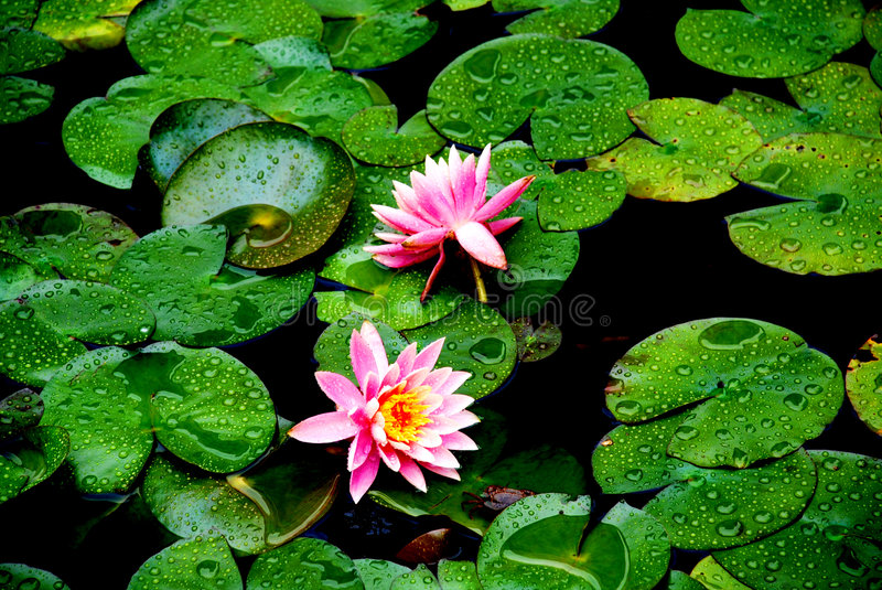 Download Pond lilies on the leaves stock image. Image of spring - 4665771