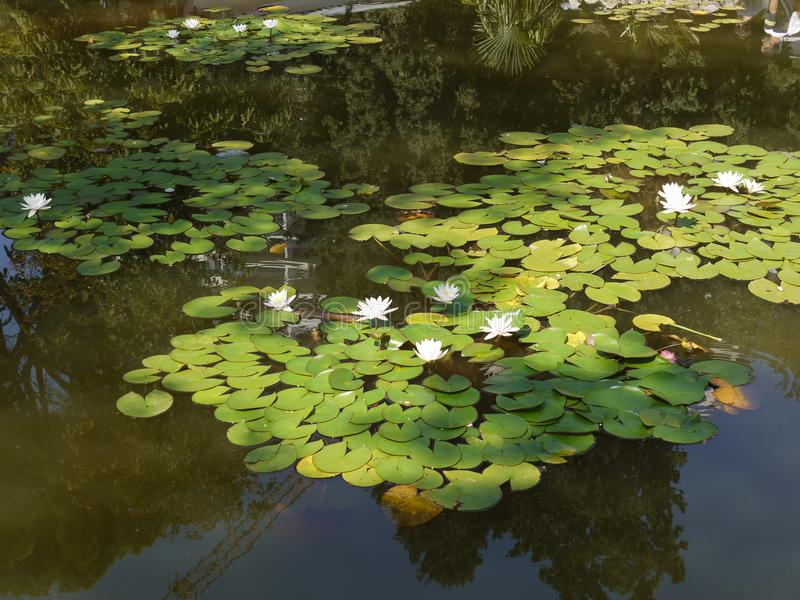 Pond with a lot of green lilies and already blossoming lush white water lilies. For your design stock photo