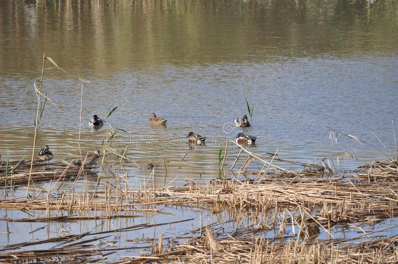 Pond with Mallards, Anas platyrhynchos, common teal, Anas crecca, and other species of duck and waterfowl. royalty free stock photos