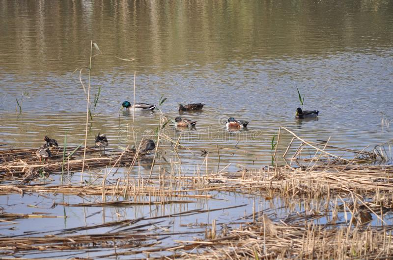Pond with Mallards, Anas platyrhynchos, common teal, Anas crecca, and other species of duck and waterfowl. stock images