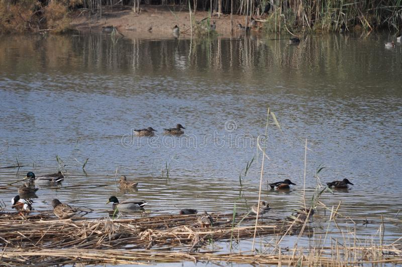 Pond with Mallards, Anas platyrhynchos, common teal, Anas crecca, and other species of duck and waterfowl. stock photography