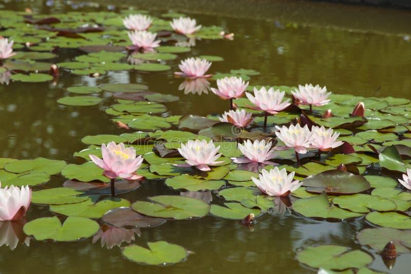 Pond met de nenuphar lotusbloem van de leliewaterlelie royalty-vrije stock afbeeldingen