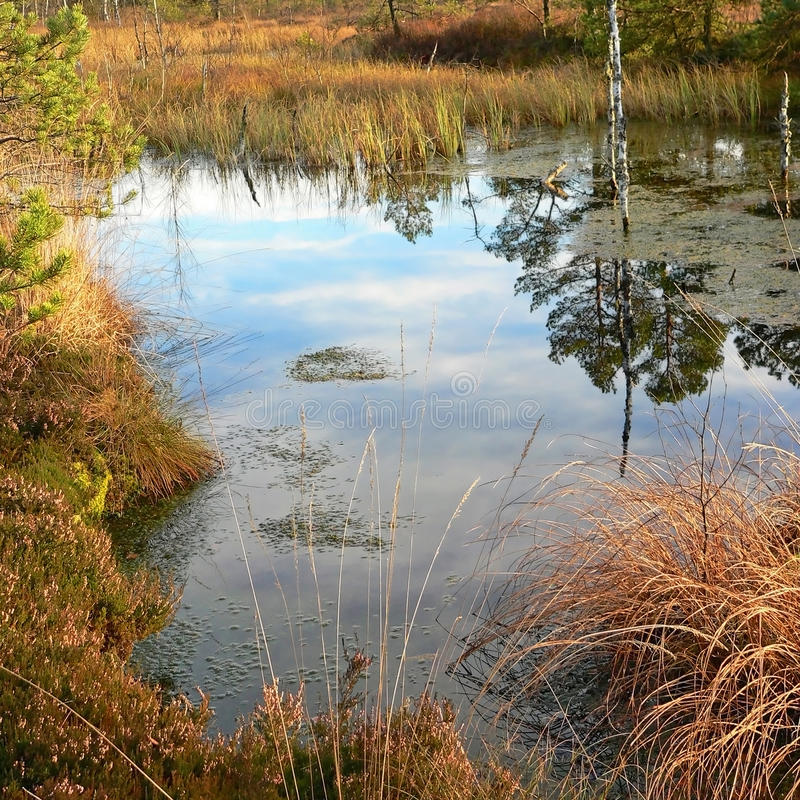 Pond in the moor. Reflecting tree in the autumnal moor landscape, nature protection wilderness royalty free stock photo