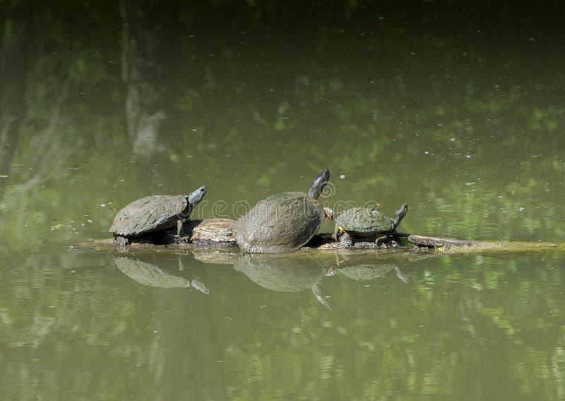 Pond o slider, o Texas River Cooter e slider Vermelho-orelhudo da lagoa em um log fotos de stock