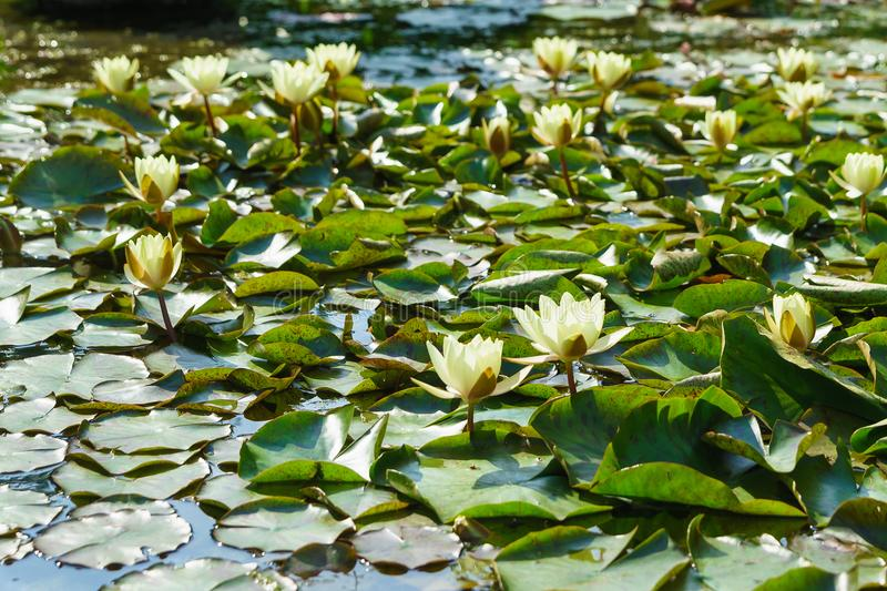 Pond, overgrown with white and yellow water lilies lat. Nymphaea. Sunny summer day stock images