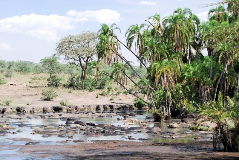 Pond and palms in Serengeti with hippos. North Serengeti National Park Tanzania - Hippos in watering hole with palm trees in fairly green landscape stock photos
