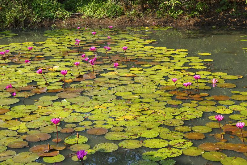 Pond of pink lily, Nymphaea pubescens, India royalty free stock photos