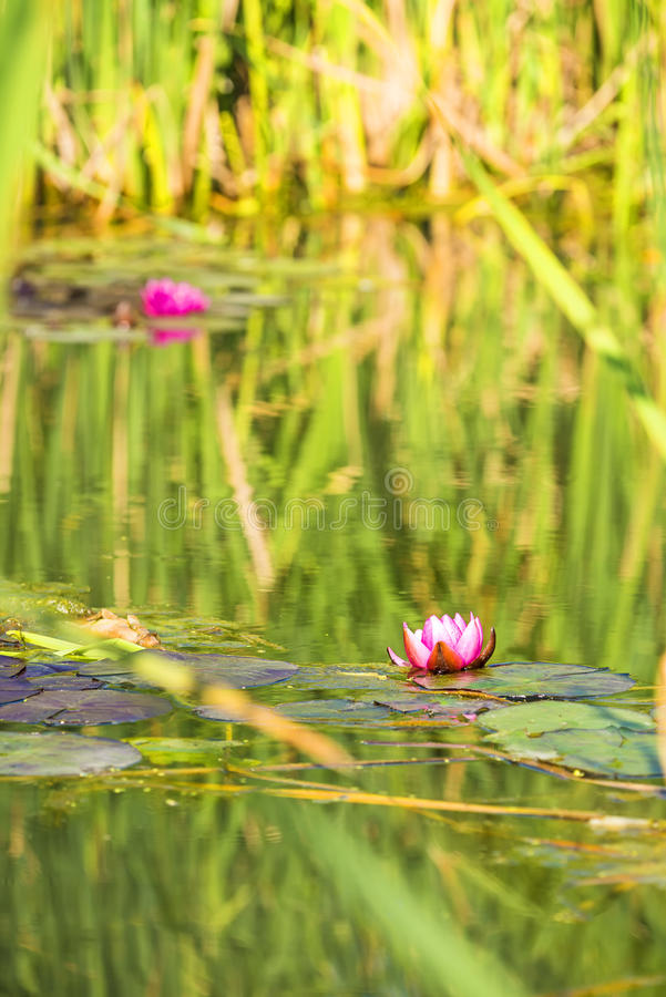 A pond with red water lily royalty free stock image
