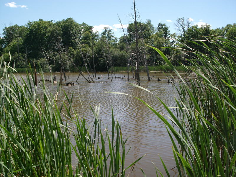 Pond with rushes royalty free stock images