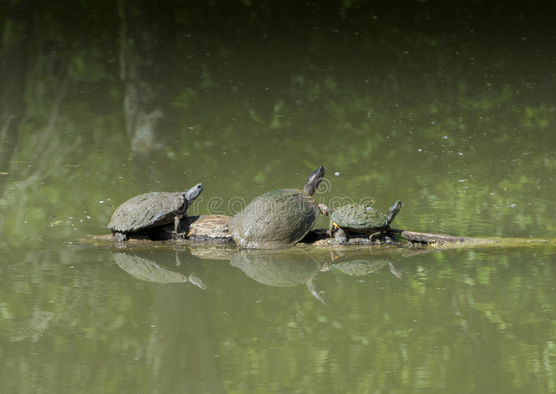 Pond Slider, Texas River and Red-eared pond slider on a log. Pictured is a Texas River climbing onto a log between a pond slider and a Red-eared pond slider stock photos