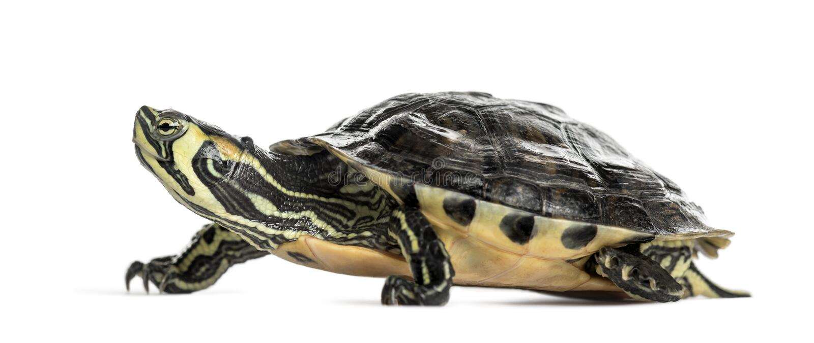 Pond slider turtle, isolated. On white stock images