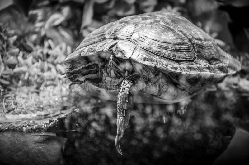 Pond Slider turtle sleeping behind aquarium glass. Black and White. stock photography