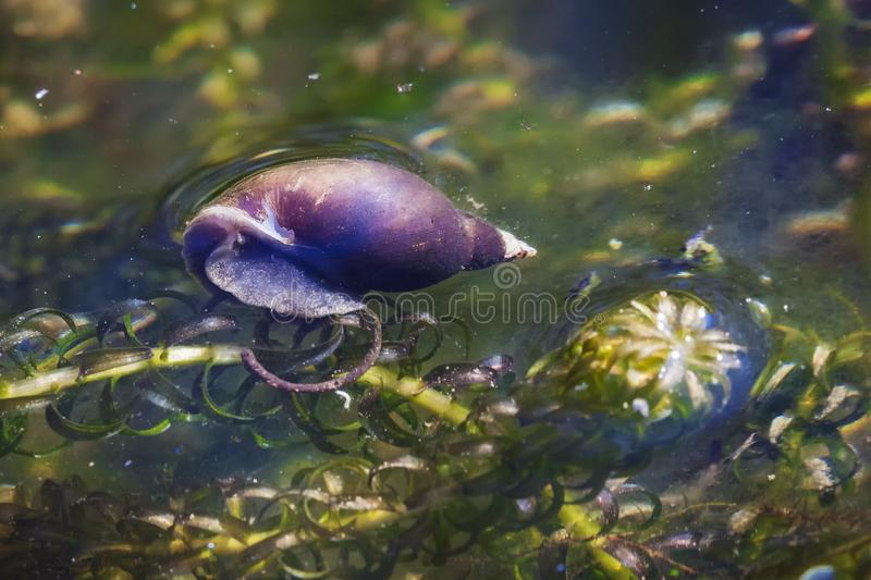 Pond snail. In a freshwater garden water environment royalty free stock photo