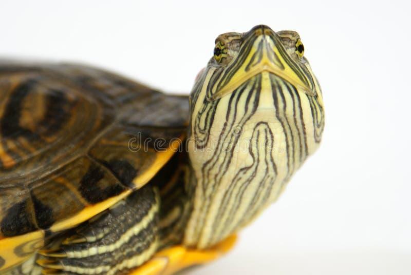 Pond terrapin. Pond terrapin close-up, raised head (face stock photo