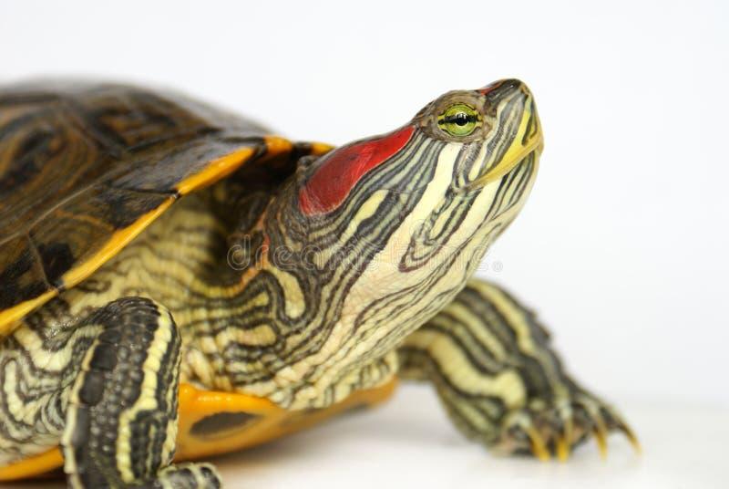 Pond terrapin. Pond terrapin close-up, raised head (profile royalty free stock photo