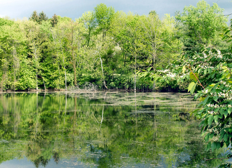 Pond and trees royalty free stock photo