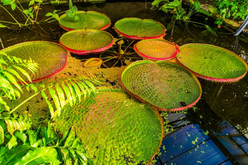 Pond with a Victoria longwood water lilly, cultivar of Amazonica and cruziana, popular tropical water plant specie from America. A Pond with a Victoria longwood stock photography