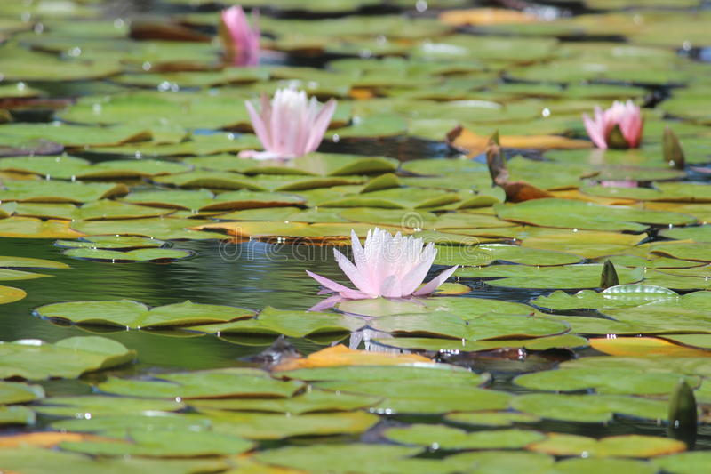 Pond with water lilies. A pond full of white and pink water lilies stock images