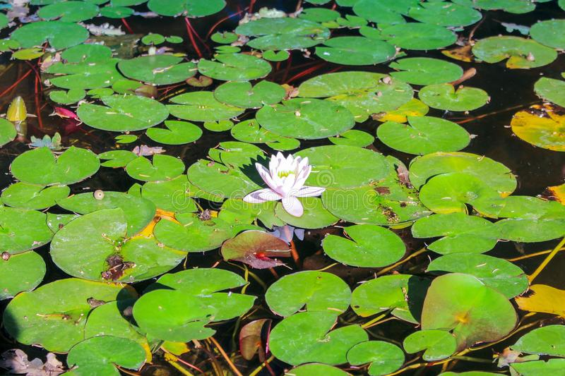 Pond with water lilies stock photo