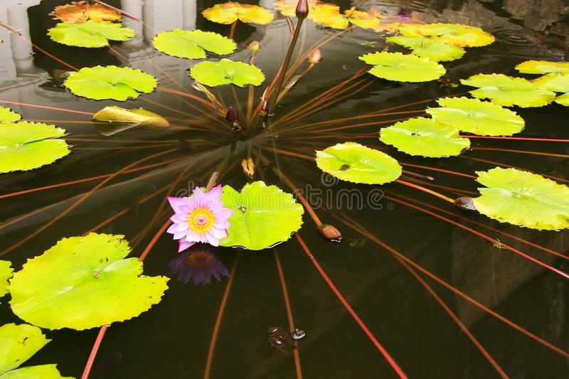 Pond with water lilies at Dambulla Golden Temple in Sri Lanka stock images