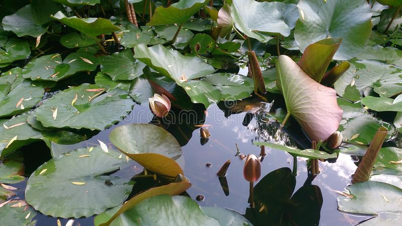 Pond with water lilies in early spring. The water lilies are blooming in pond.Dark water reflects the sky and leaves of lilies royalty free stock photography