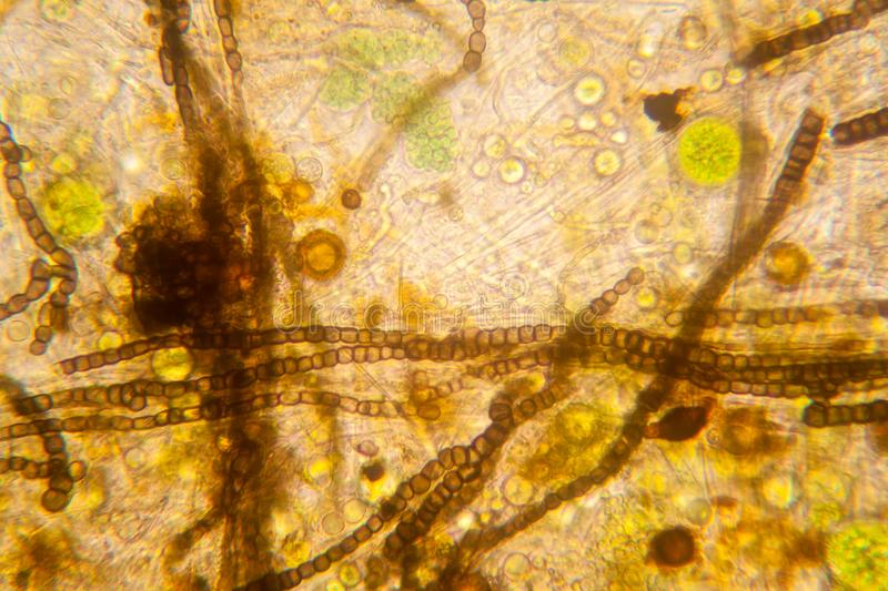 Pond water plankton and algae at the microscope. Nostoc commune stock photography
