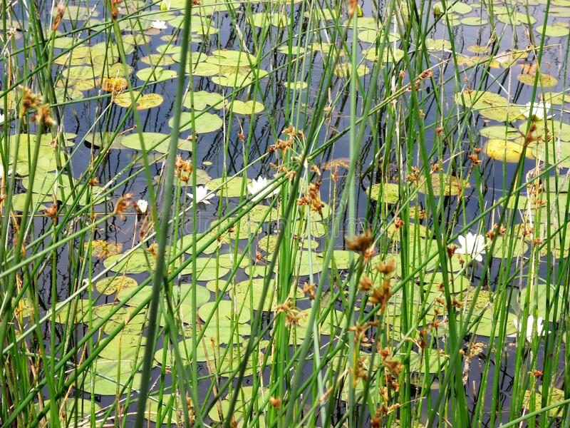 Pond with white water lilies. Nature in summer, green vegetation royalty free stock photos