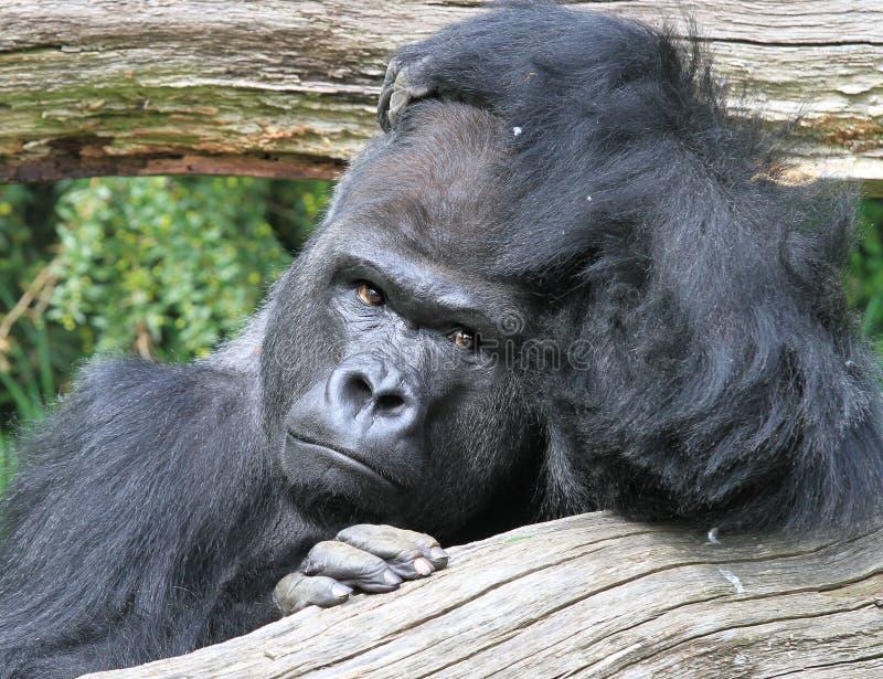 Pondering o gorila foto de stock royalty free
