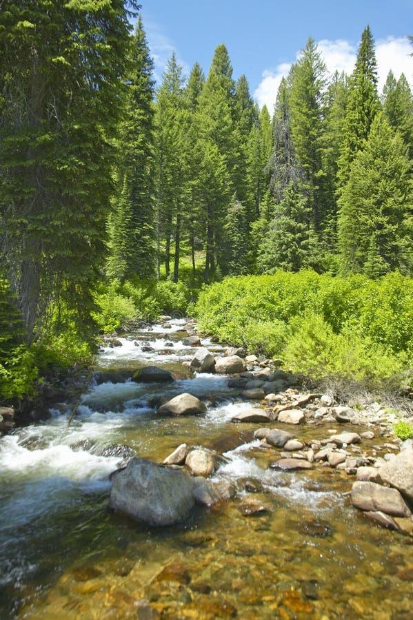 Ponderosa-Kiefern mit Nebenfluss in Payette-staatlichem Wald nahe McCall Idaho stockbild