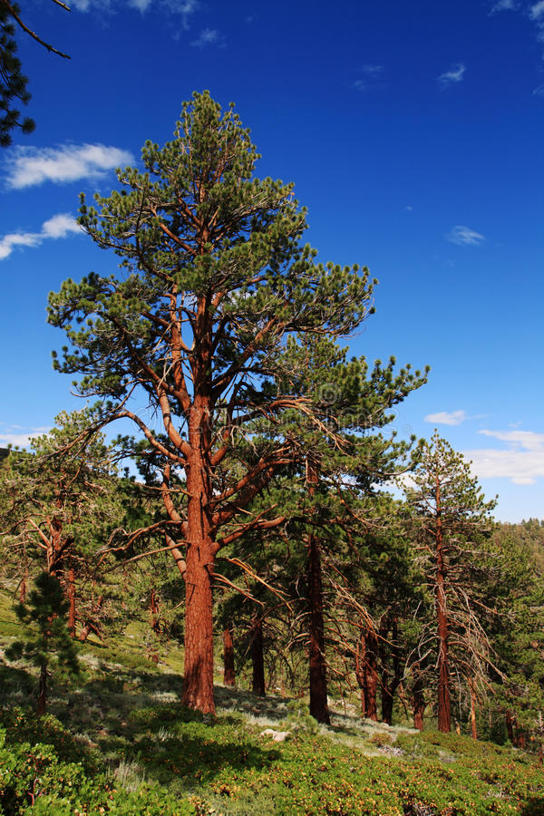 Download Ponderosa Pine Royalty Free Stock Photos - Image: 22595878