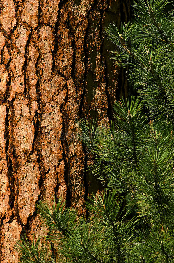 Free Ponderosa Pine Stock Photos - 9769633