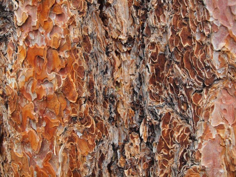 Ponderosa Pine royalty free stock photos