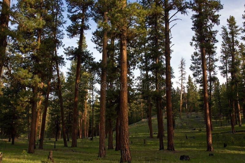 Tall Ponderosa Pine Pinus Ponderosa Tree Growing In ...