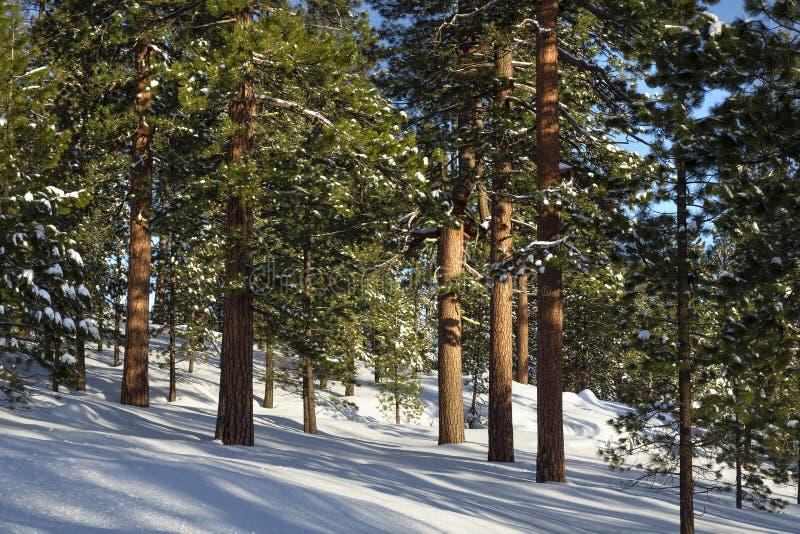 Ponderosa Pines in Winter stock photography