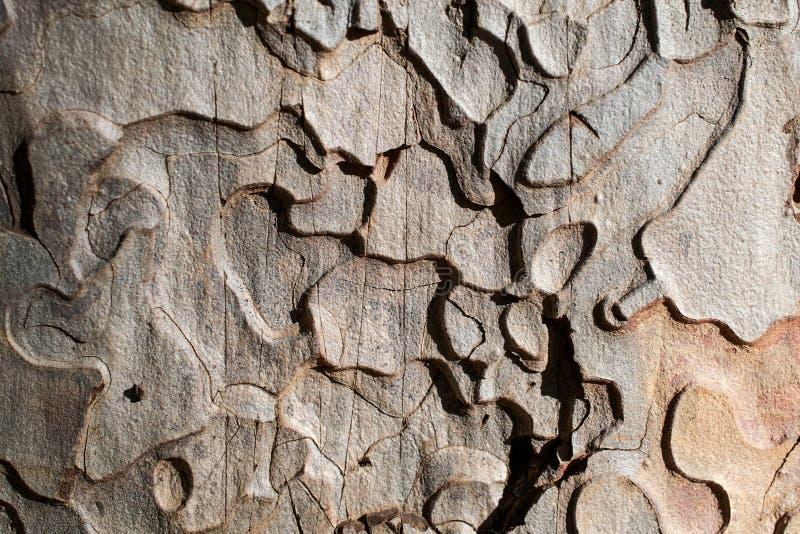 Ponderosa Pine-Wood texture and background stock image