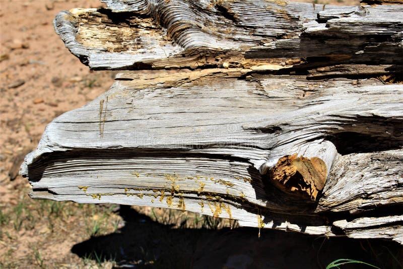 Ponderosa sosny aprosza przy drewien Jar jeziorem, Coconino okręg administracyjny, Arizona, Stany Zjednoczone obraz stock